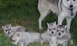 Alaskan Klee Kai Pictures
