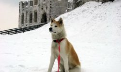 American Akita Pictures