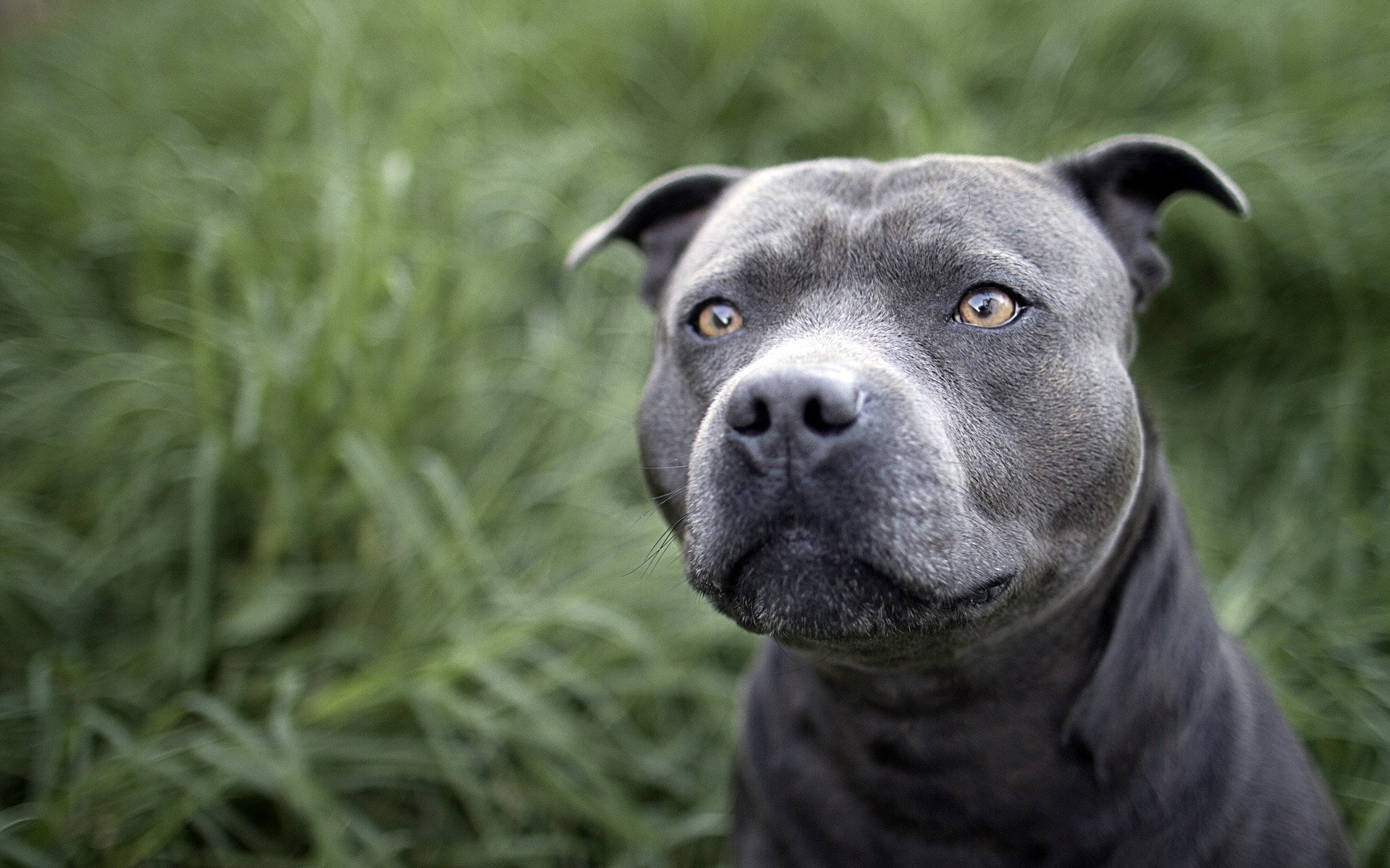 American Pit Bull Terrier Pictures