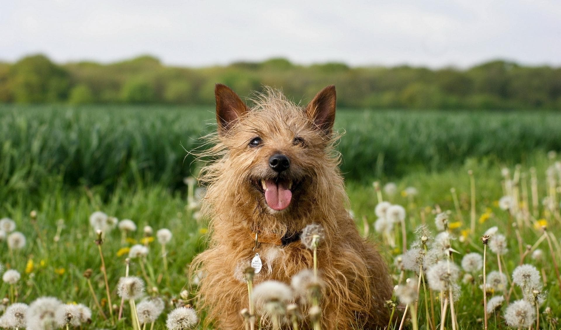 Australian Silky Terrier Backgrounds