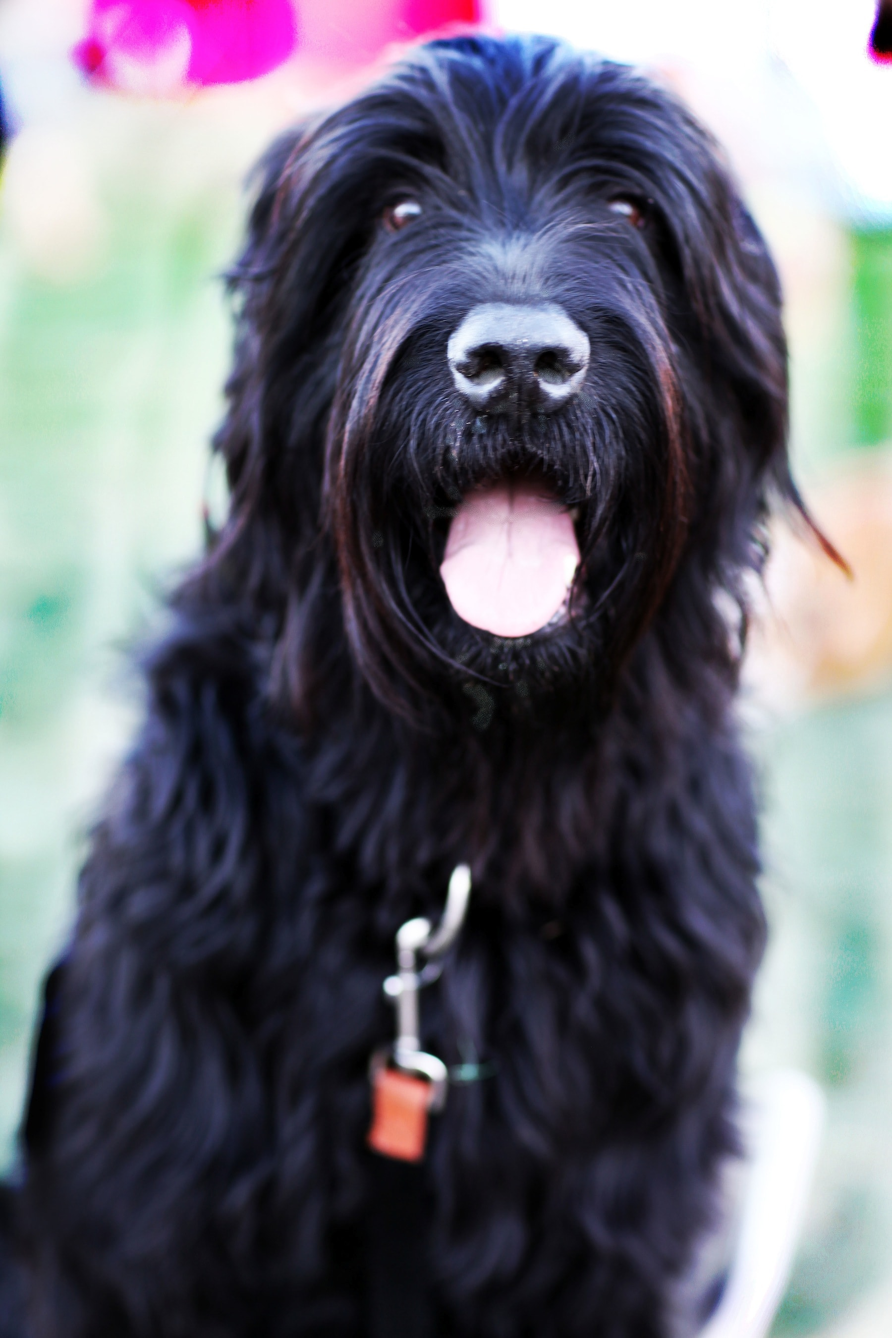 Black Russian Terrier For mobile