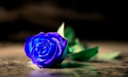 Blue Rose Backgrounds