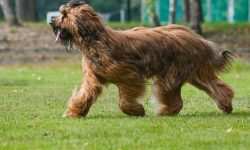 Briard Backgrounds