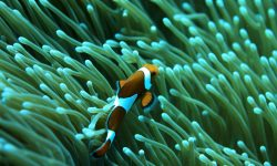 Clownfish Backgrounds