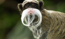 Emperor Tamarin Backgrounds
