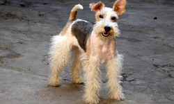 Fox Terrier Backgrounds