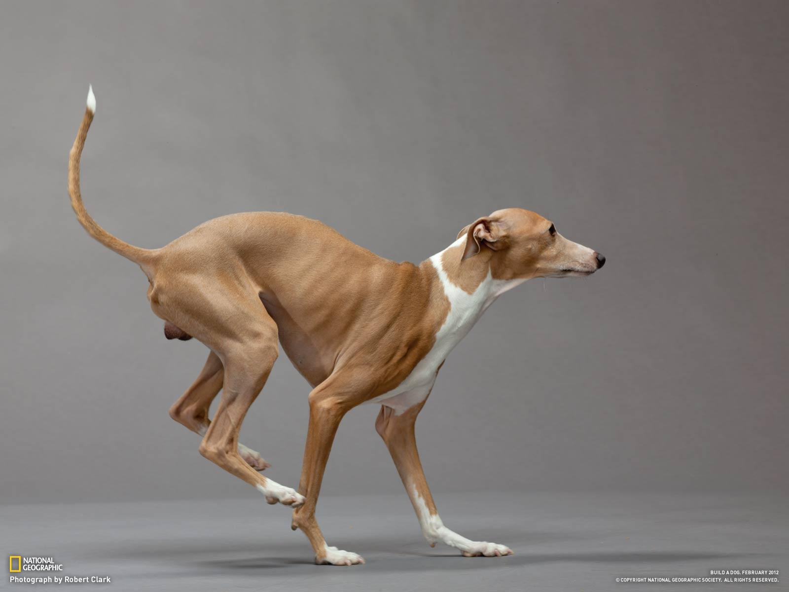 Greyhound Backgrounds