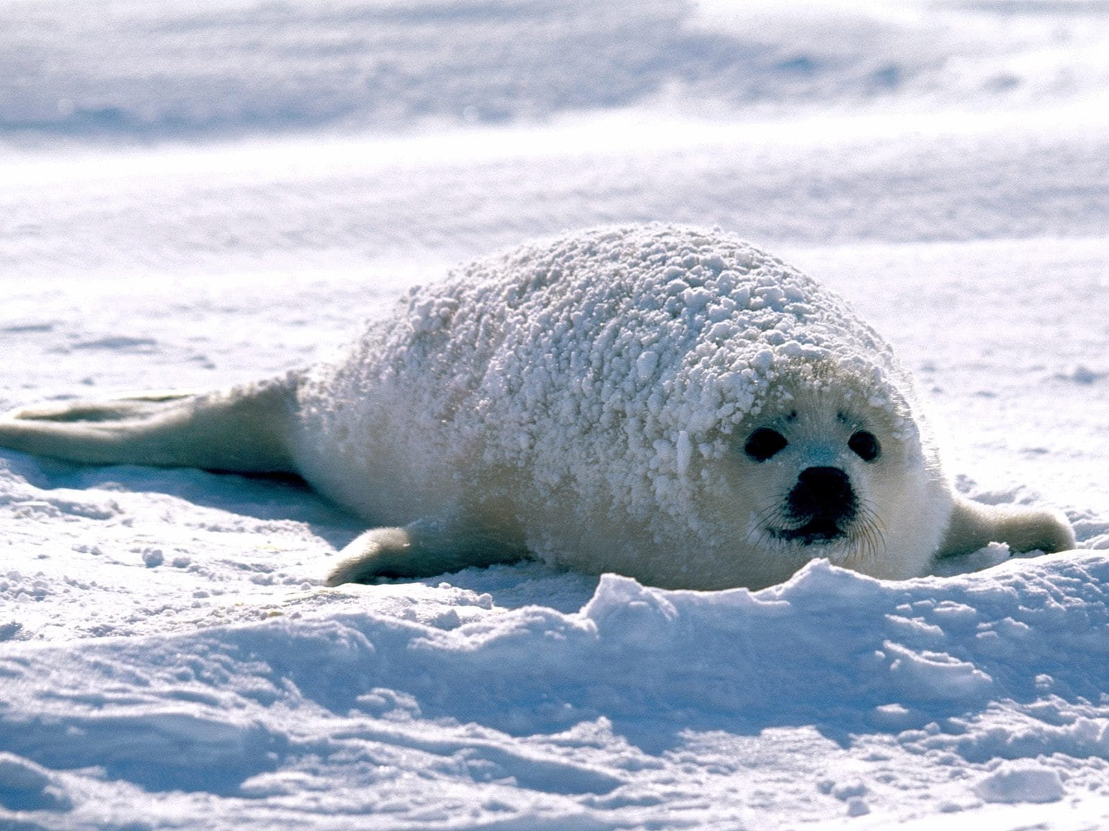Harp seal Backgrounds