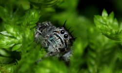Jumping spider Backgrounds