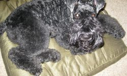 Kerry Blue Terrier Backgrounds