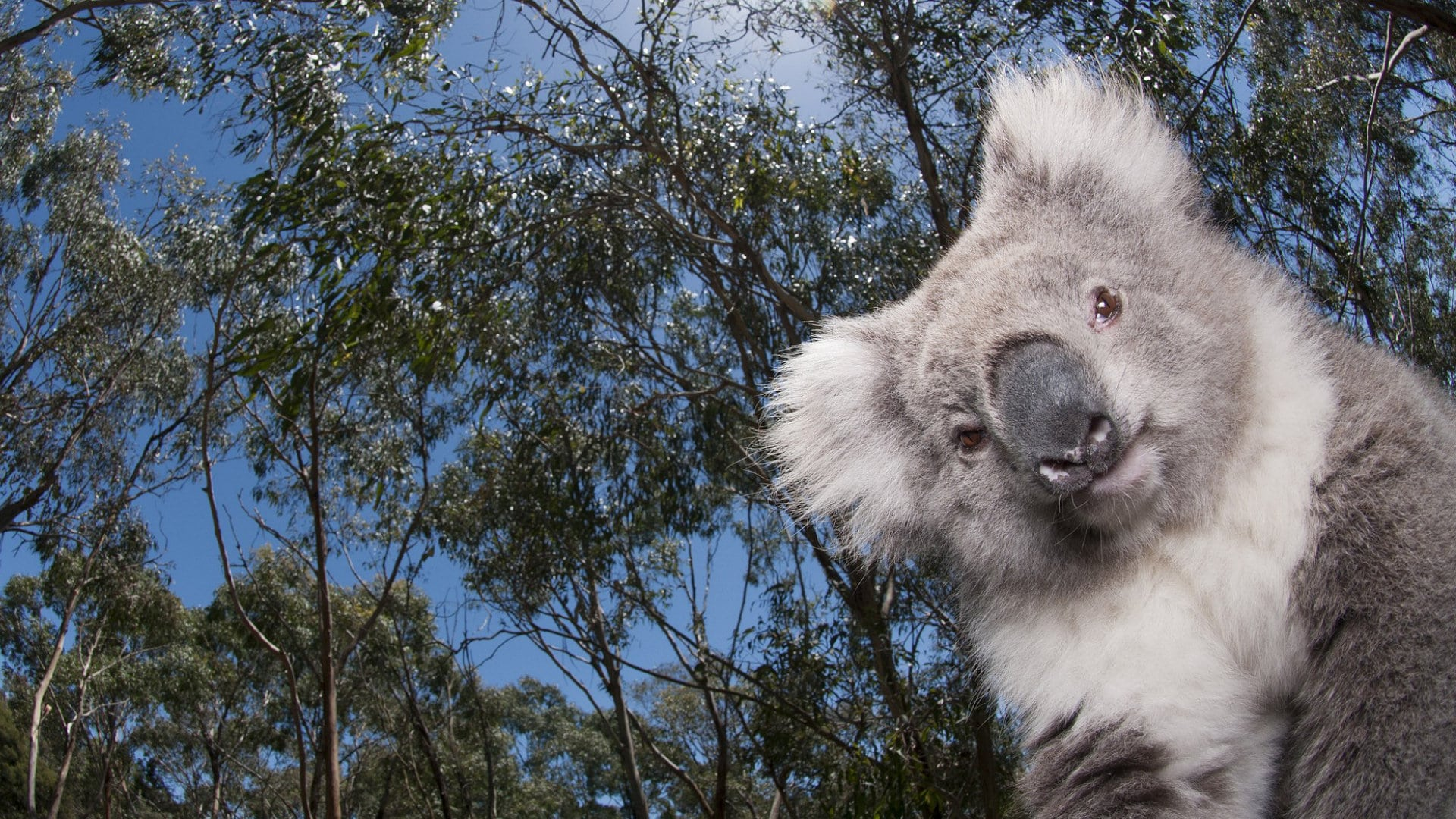 Koala Backgrounds