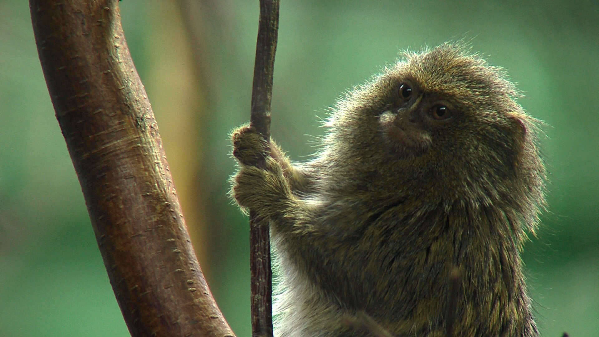 Marmoset monkey Backgrounds