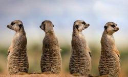 Meerkat Backgrounds