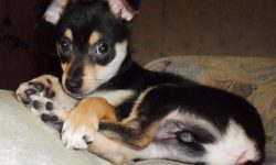 Miniature Pinscher Pictures