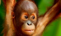 Orangutan HD pictures