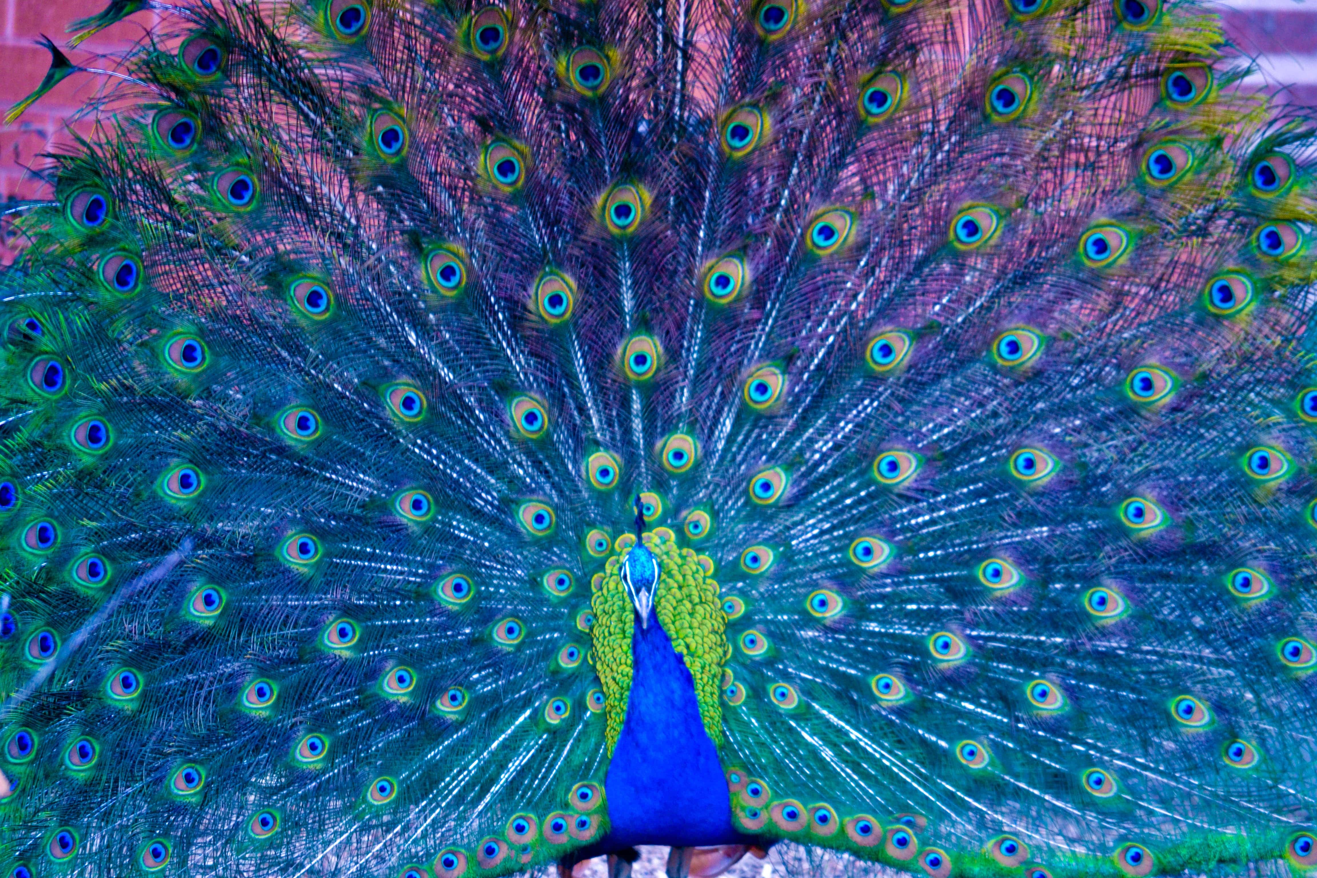 Peacock Backgrounds