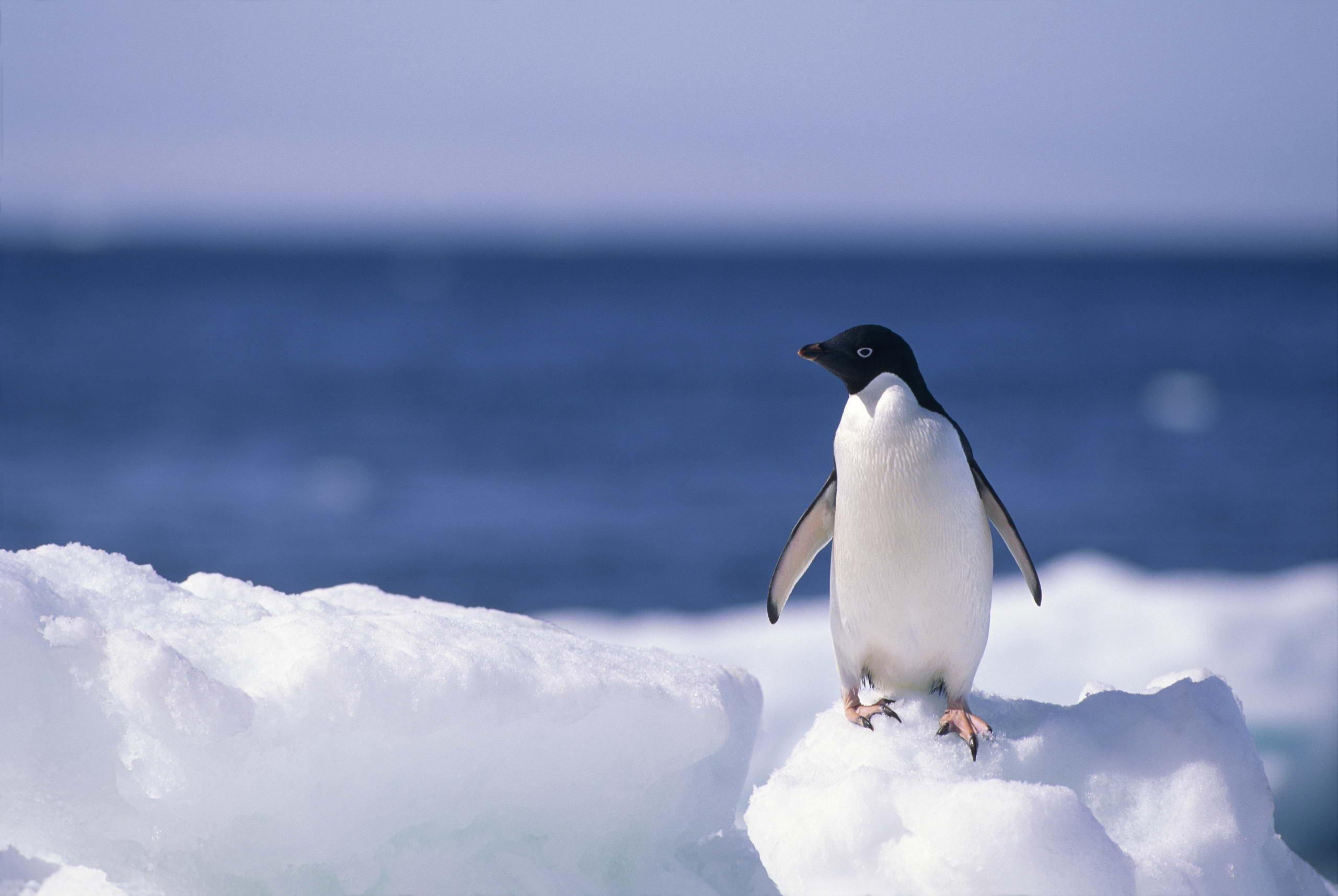 Penguin Backgrounds