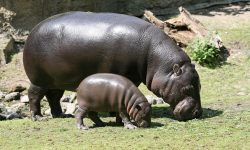 Pygmy hippopotamus Backgrounds