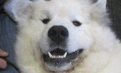 Pyrenean Mountain Dog Widescreen for desktop
