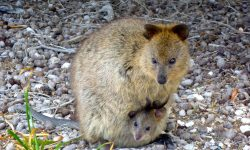 Quokka Backgrounds