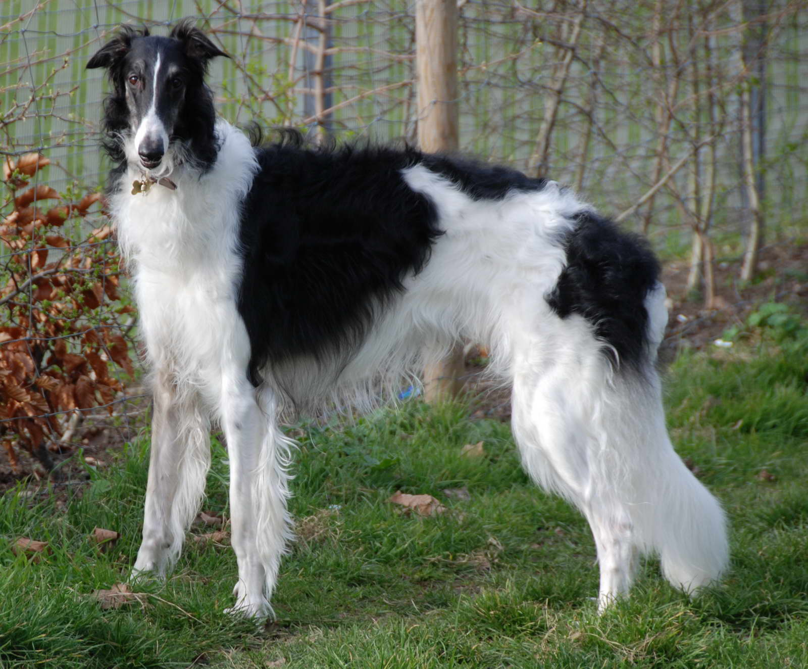 Russian Wolfhound Pictures
