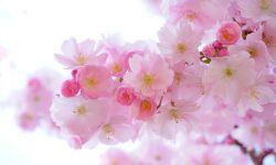 Sakura flower Backgrounds
