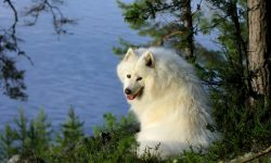 Samoyed Husky Backgrounds