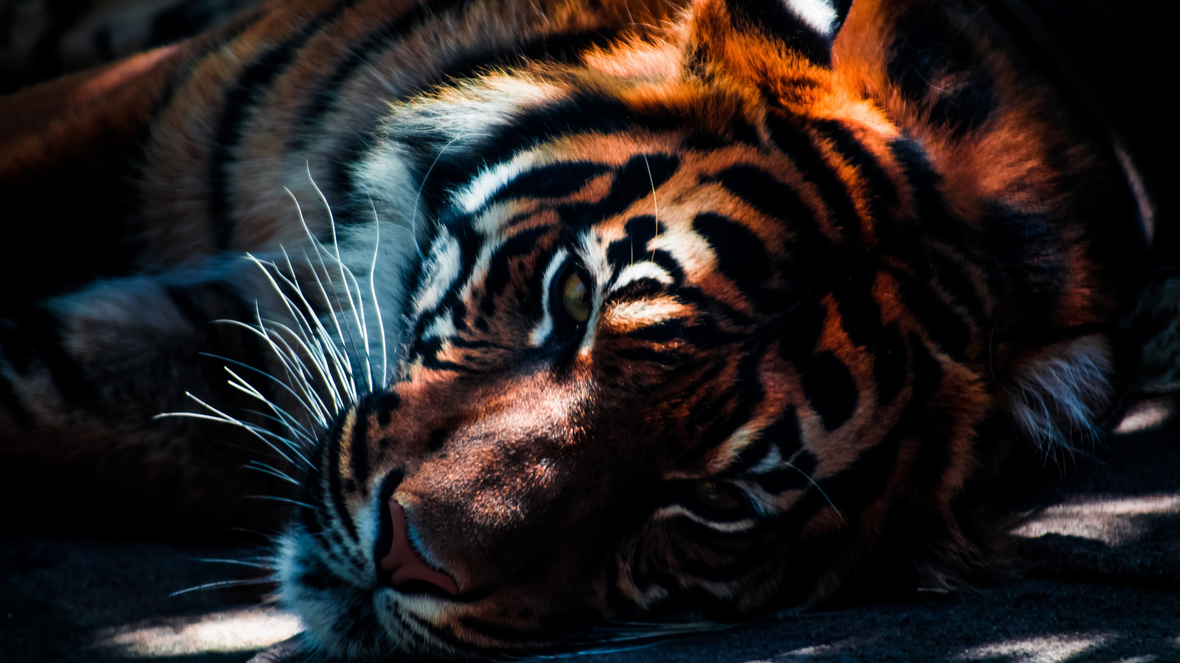 Tiger widescreen