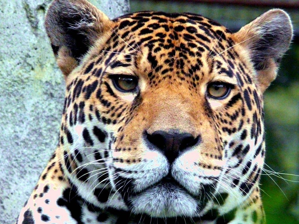 Jaguar HQ wallpapers