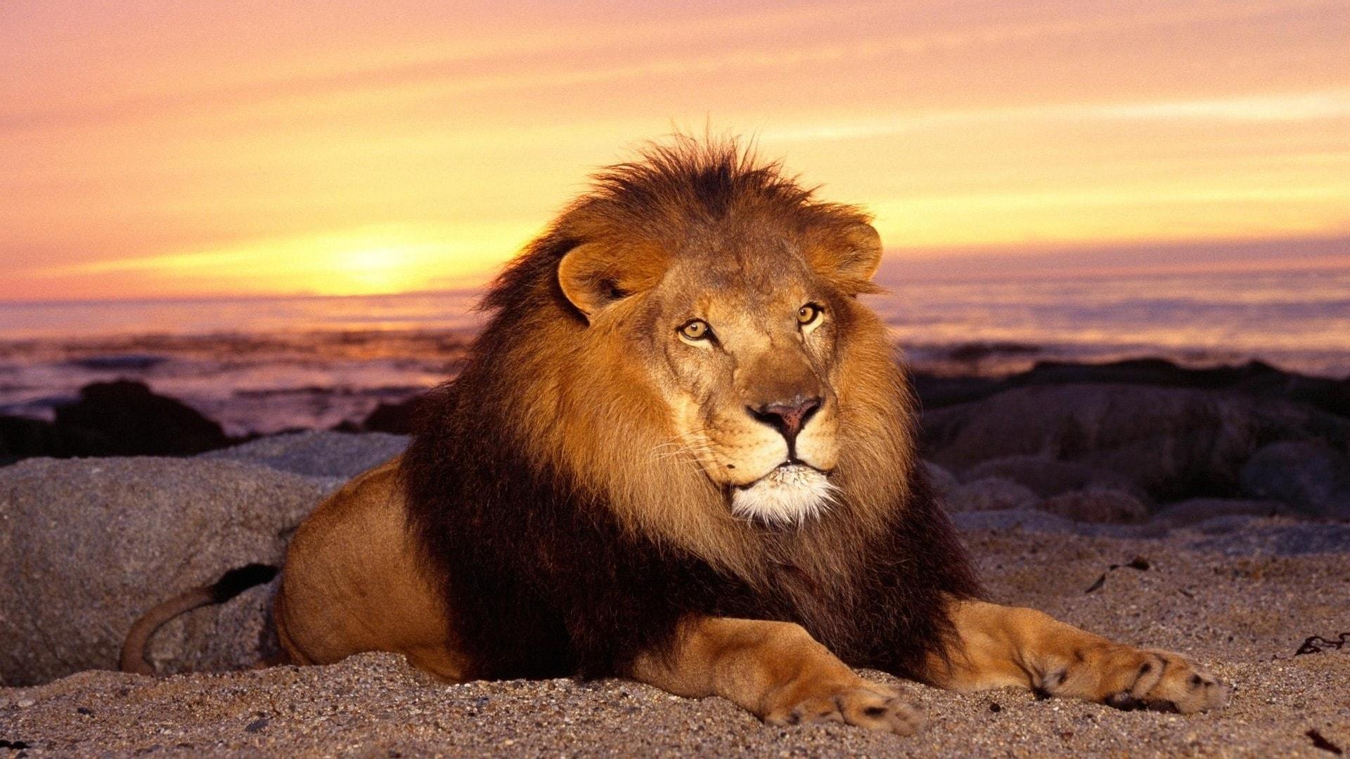 Lion desktop wallpapers
